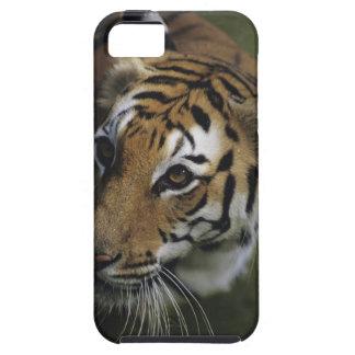 Situación del tigre (Panthera el Tigris), primer d iPhone 5 Case-Mate Fundas