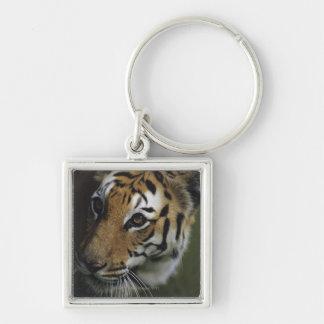 Situación del tigre (Panthera el Tigris), primer Llavero Cuadrado Plateado