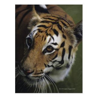 Situación del tigre (Panthera el Tigris), primer Tarjeta Postal