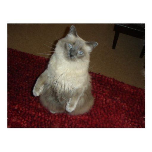 Situps del gato tarjetas postales