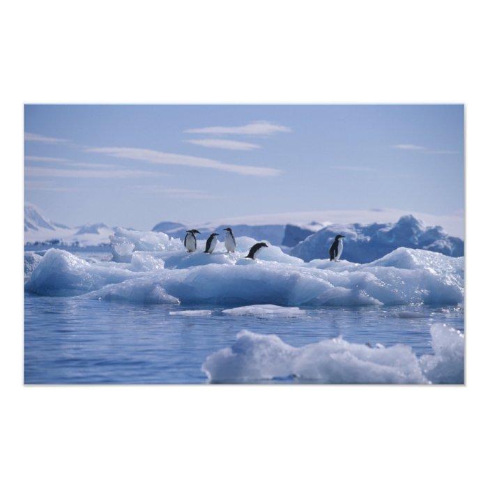 Six Adelie Penguins Pygoscelis adeliae) on an Photo Print