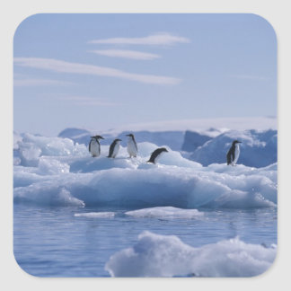 Six Adelie Penguins Pygoscelis adeliae) on an Square Sticker