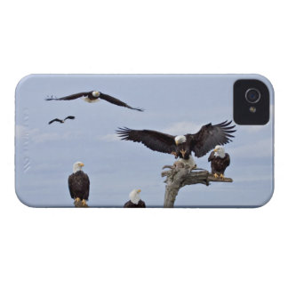 Six Bald Eagles (Haliaeetus leucocephalus) iPhone 4 Cover