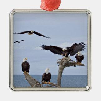 Six Bald Eagles (Haliaeetus leucocephalus) Metal Ornament