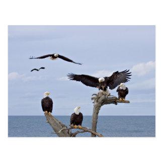 Six Bald Eagles (Haliaeetus leucocephalus) Postcard