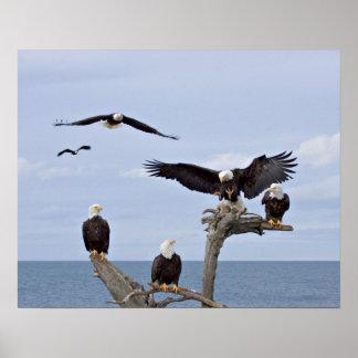 Six Bald Eagles (Haliaeetus leucocephalus) Poster