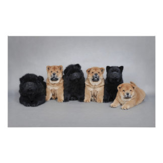 Six chow chow poster