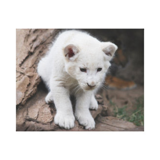 Six week old baby white lion cub stretched canvas print