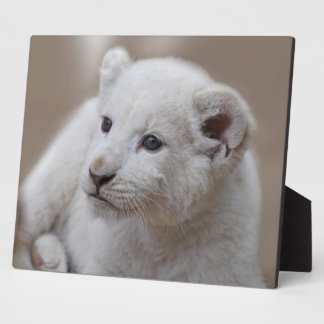 Six week old white baby lion cub plaque
