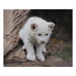Six week old white baby lion cub poster