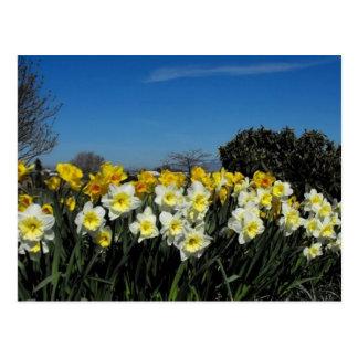 skagit valley tulips 6 postcard