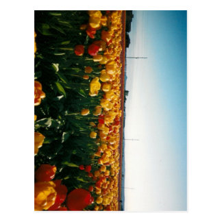 skagit valley tulips postcard