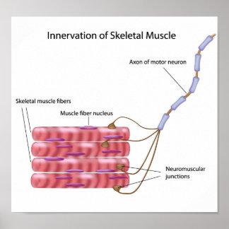 Skeletal muscle innervation Poster