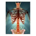 Skeleton and Nerves Postcard