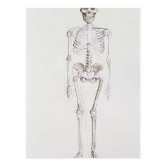 Skeleton of Australopithecus africanus Postcard