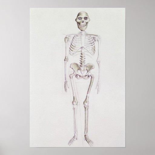 Skeleton of Australopithecus africanus Poster