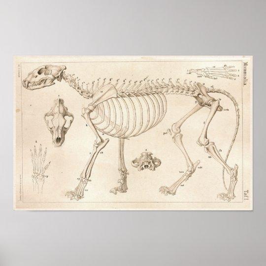 Skeleton of Lion Veterinary Anatomy Print | Zazzle.com