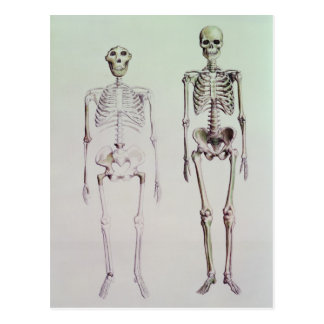 Skeletons of Australopithecus Boisei Postcard