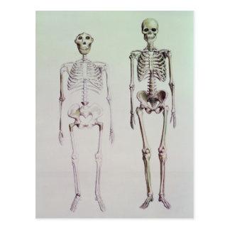 Skeletons of Australopithecus Boisei Post Card
