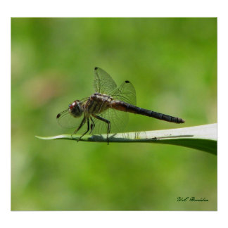 Skimmer Dragonfly on Bud Poster
