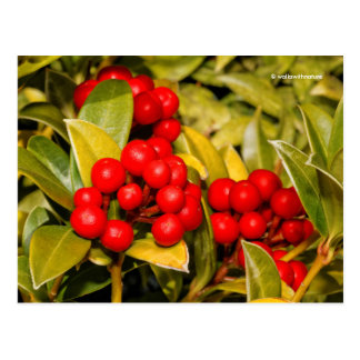 Skimmia Japonica Berries and Leaves Postcard