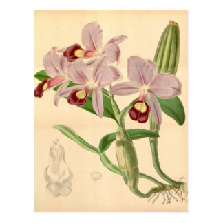 Skinneri de Guarianthe (como skinneri de Cattleya) Tarjetas Postales