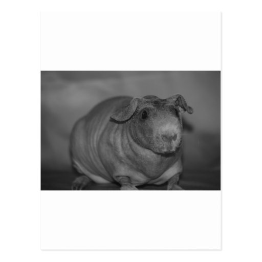 Skinny Pig in black and White Postcard
