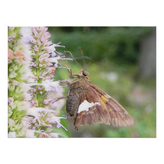 Skipper Butterfly On Agastache Posters