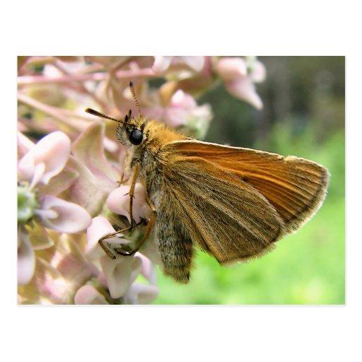 Skipper Butterfly on Milkweed Blossoms Postcard