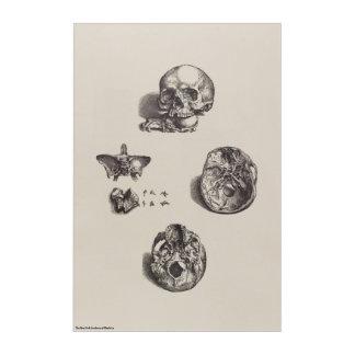Skull - Icones Anatomicae Acrylic Print