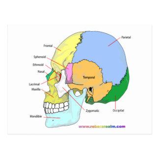 Skull (lateral) postcard