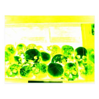 Skulls Green & Yellow Postcard