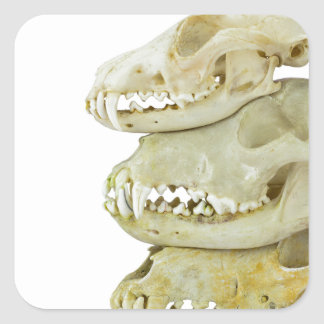 Skulls of fox and dogs on top of each other square sticker