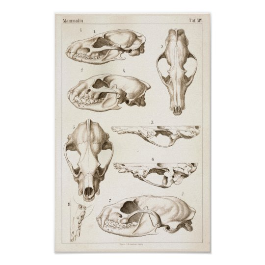 Skulls of Mammals Veterinary Anatomy Print | Zazzle.com