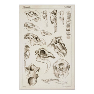 Skulls of Mammals Veterinary Manatee Anatomy Print
