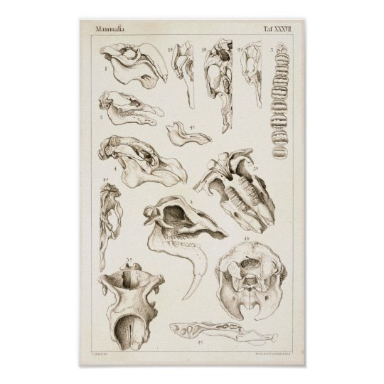 Skulls of Mammals Veterinary Manatee Anatomy Print | Zazzle.com