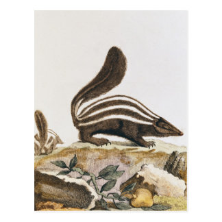 Skunk, from 'Histoire Naturelle' by Postcard