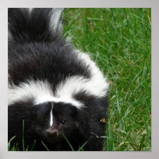 Skunk Photo Poster Print