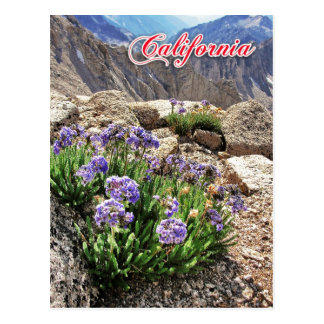Sky Pilot Flowers, University Peak, California Postcard