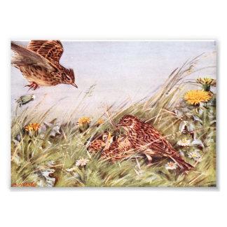 Skylarks In Field Scene Art Photo