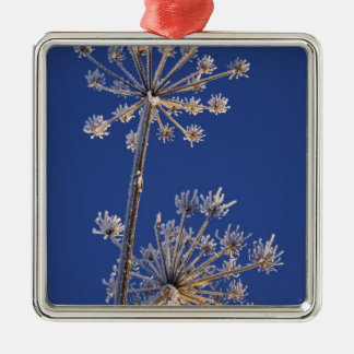 Skyward view of Cow Parsnip in winter covered in Metal Ornament