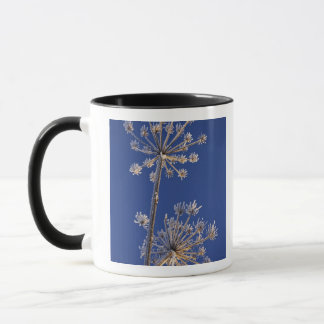 Skyward view of Cow Parsnip in winter covered in Mug