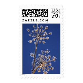 Skyward view of Cow Parsnip in winter covered in Postage