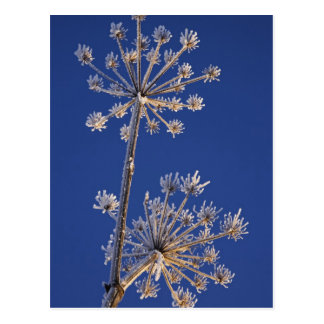 Skyward view of Cow Parsnip in winter covered in Postcard