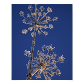 Skyward view of Cow Parsnip in winter covered in Poster