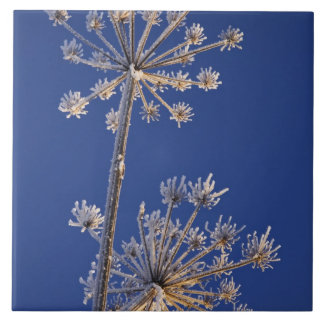 Skyward view of Cow Parsnip in winter covered in Large Square Tile
