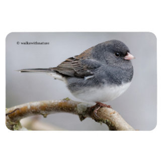 Slate-Colored Dark-Eyed Junco on the Pear Tree Magnet