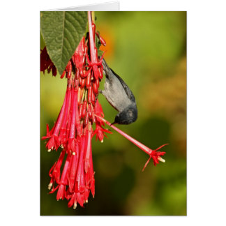 Slaty Flowerpiercer male Card