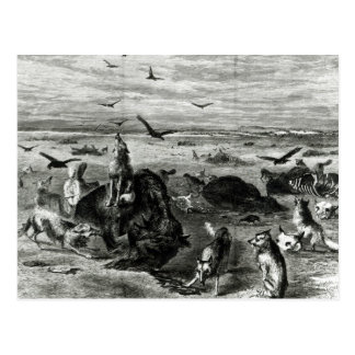 Slaughter of Buffaloes on the Plains Postcard