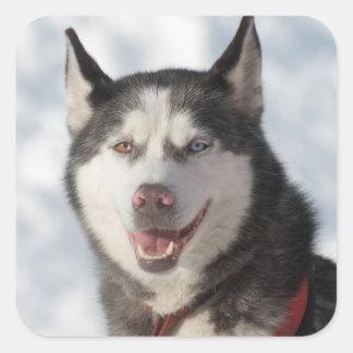 Sled Dog Portrait Square Sticker